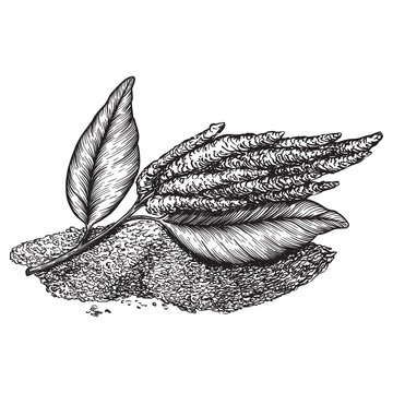 Drawings of amaranth flowering plants and seeds. Organic superfood product for healthy nutrition hand drawn on white background. Engraving drawing style vector illustration