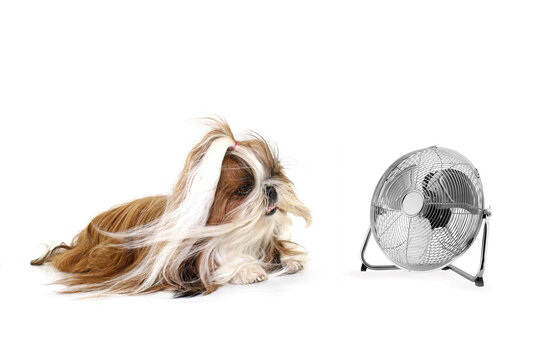dog shih tzu with a ventilator isolated on white