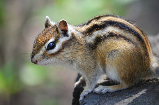Chipmunk in the park