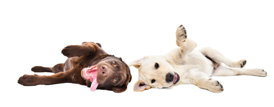 Two funny cute labrador puppies lying isolated on white background