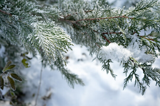 Snow covered juniper branch - background for a postcard