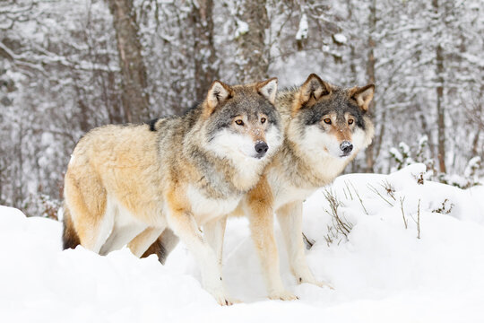 Two beautiful wolves in cold snowy winter forest