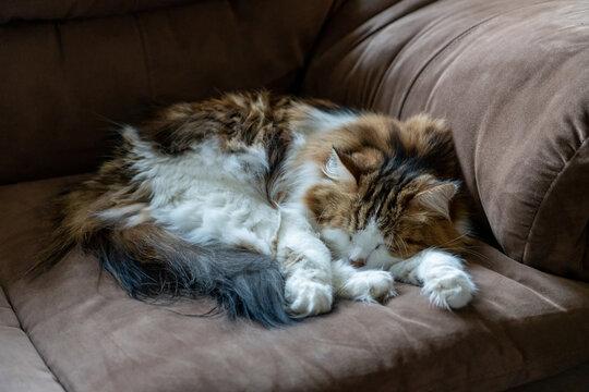 A cute, long haired cat sleeps peacefully on a brown sofa.