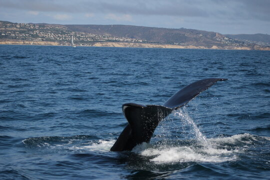 Whales and dolphins of the coast of Orange County , California.