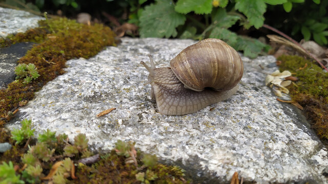 Snail crawling on a stone surface