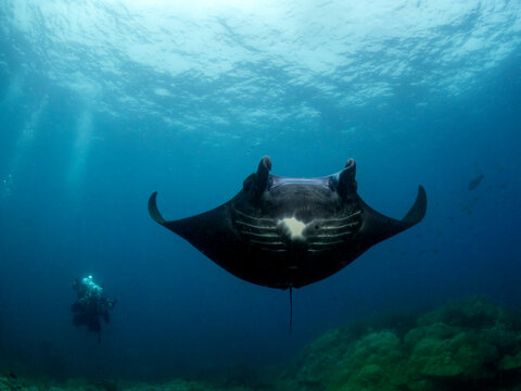 Diver swimming in ocean with a black manta, Indonesia