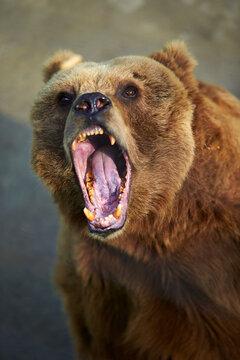 angry brown bear