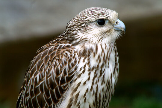Closeup shot of a white and brown falcon with blurred background