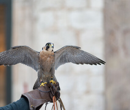 A male peregrine falcon perched on the falconry glove of its master falconer. Taken in Burgos, Spain, in January 2021