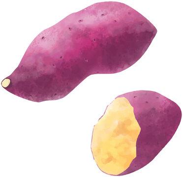 サツマイモのベクター水彩イラスト