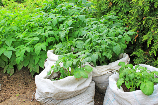 Beautiful new potatoes planted in bags