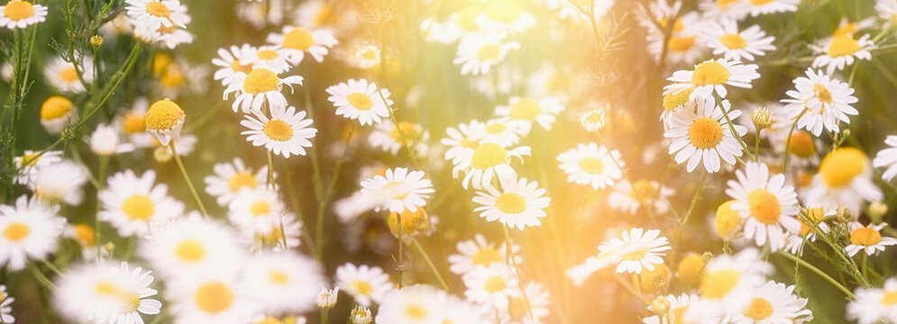 Beautiful nature, flowering wild chamomile, daisy flower in meadow lit by sunlight