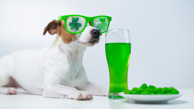 Dog with a mug of green beer and glazed nuts in funny glasses on a white background. Jack russell terrier celebrates st patrick's day