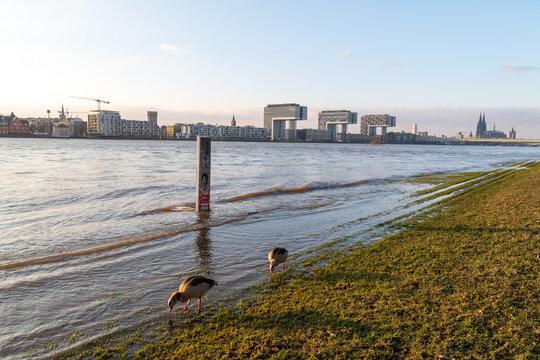Nilgänse genießen das Hochwasser des Rheins in Köln