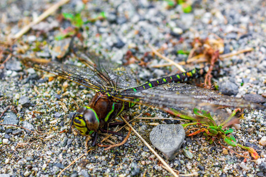 Large neon green and yellow colored dragonfly in Vang Norway.