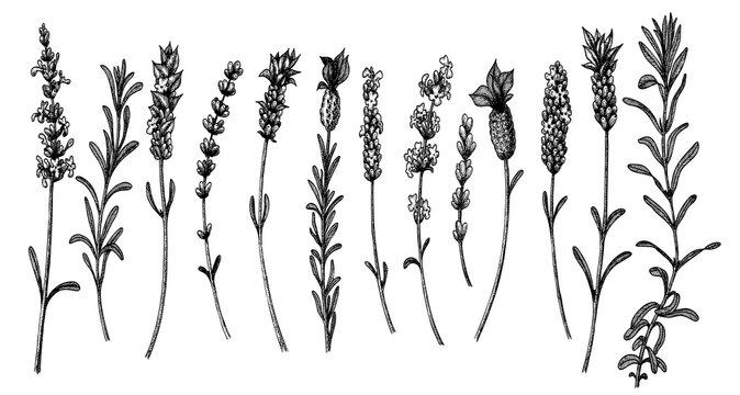 Vector lavender sketch. Set of lavandula flowers in vintage style. Hand drawn illustration for packaging organic and natural products, of greetings card, invitations.