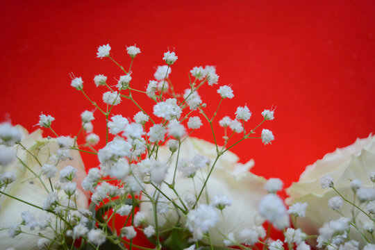 White roses and gypsophila on a red background. Beautiful floral arrangement