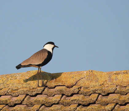 The spur lapwing