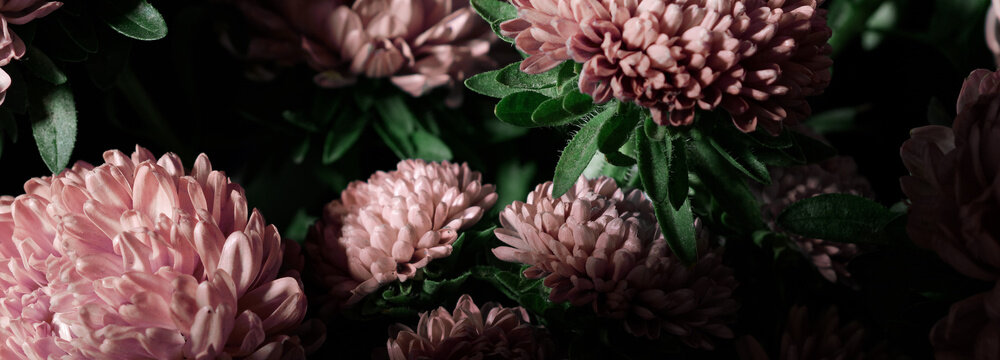 Botanical floral dark moody banner or background with pink asters flowers bouquet, closeup, copy space, greenhouse and indoor garden concept, dark moody blooming design
