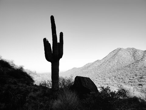 Saguaro Cactus Growing In Desert Against Clear Sky