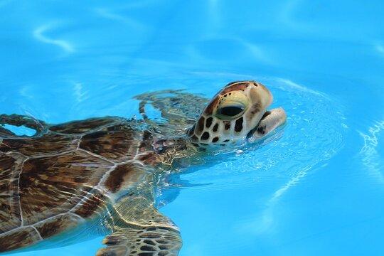 Florida Keys, Florida, United States. A injured sea turtle is hospitalized inside the Turtle hospital on Marathon island.