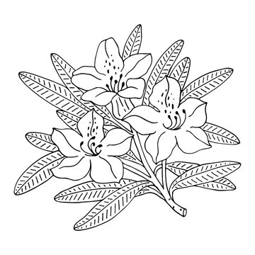 Rhododendron or Alpine rose. Evergreen alpine mountain shrub. Hand drawn contour vector illustration. Outline flower isolated on white background.