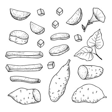 Sweet Potato tubers. Whole potatoes and cut into slices, strips and halves. Hand drawn vector illustration.