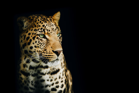 Isolated Intense Portrait of a Yellow Leopard Looking to the Right
