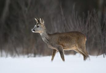 Roe deer female ( Capreolus capreolus )