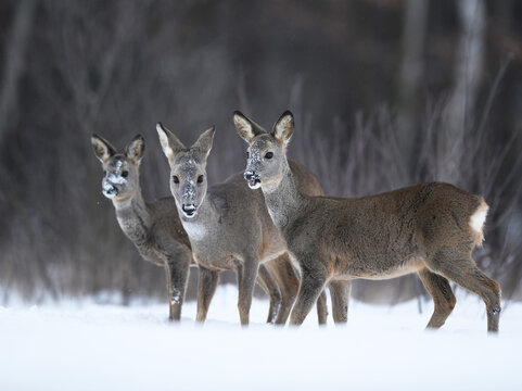 Roe deer females pack ( Capreolus capreolus )