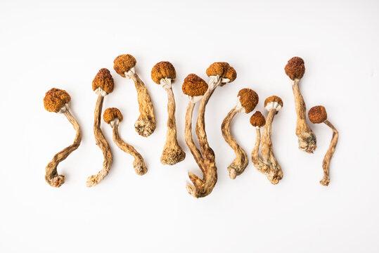 psilocybe cubensis hallucinogen mushrooms