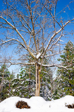Snow covered trees with blue sky in the background.