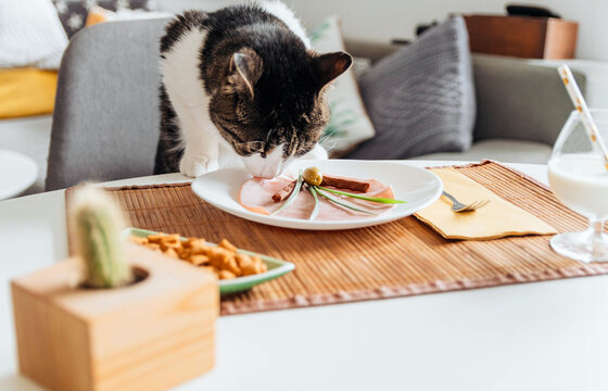 Domestic Cat Having Lunch At The Table.