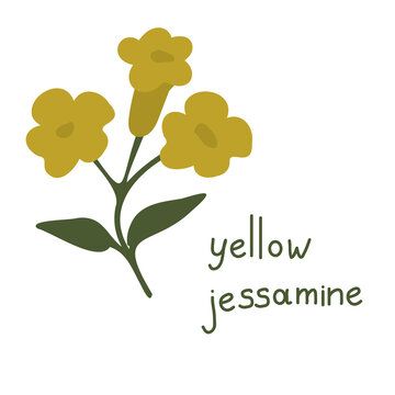 Yellow jessamine vector flower