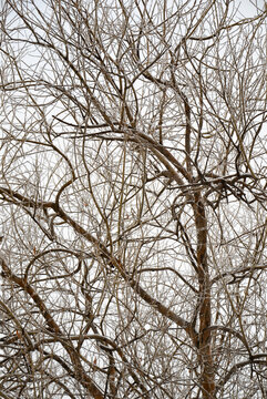 Old willow tree with bare branches covered with snow