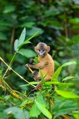 A small yellow baby monkey is learning to feed in the wild. Leaf Monkeys or Dusky Langur and mother who are living in the forest