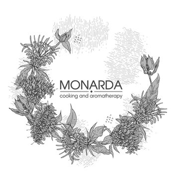 Frame with Monarda or Bergamot. Detailed hand-drawn sketches, vector botanical illustration.