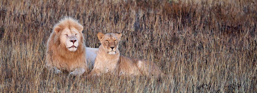 Beautiful Lion and lioness in the savanna. A pair of lions are resting in the dried grass. Family of African Lions looking