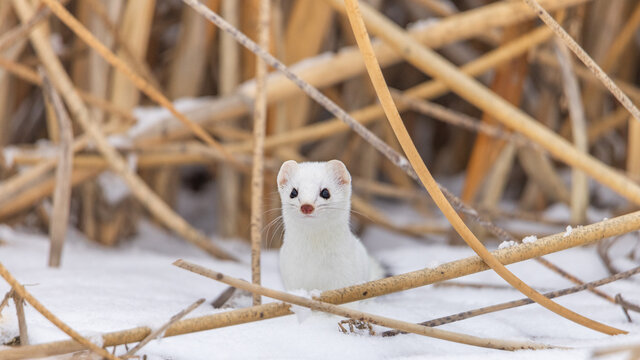 Ermine with white coat in the snow with reeds in the background