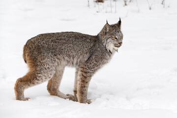 Canadian Lynx (Lynx canadensis) Stands in Snow Back Paw Forward Winter