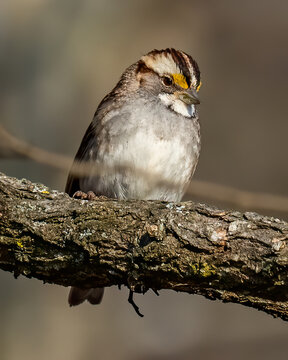 White throated sparrow on a branch