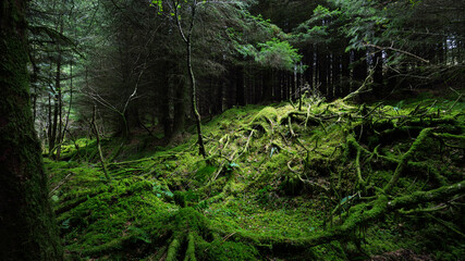 Dark forest scene. Old mossy fir trees and fern leaves close-up, tree trunks in the background....