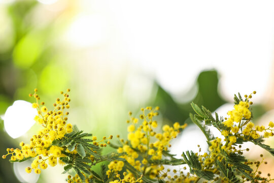 Beautiful mimosa plant on blurred background, closeup. Space for text