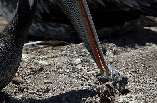 Chile carries out endangered Humboldt penguins census and colonies of pelicans to get insights into their behavior, at Cachagua Island