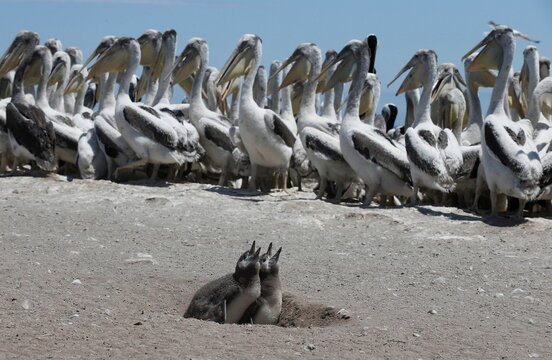 Chile carries out endangered Humboldt penguins census and colonies of pelicans to get insights into their behavior, in Cachagua Island