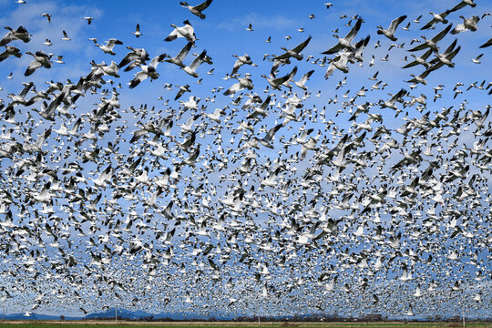 Flock of snow geese flying low