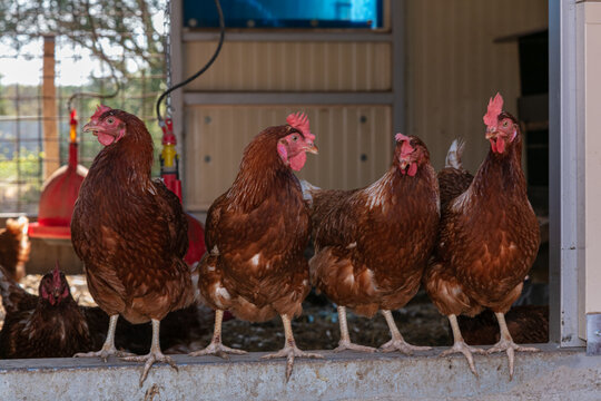 Several laying hens looking out