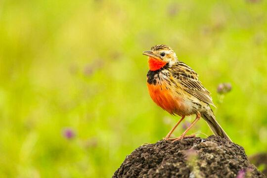 Africa, Tanzania, Ngorongoro Crater. Rosy-breasted longclaw bird.