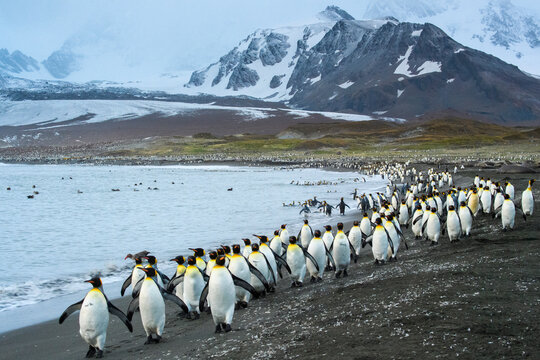 South Georgia Island, St. Andrews Bay. King penguins march along the beach.