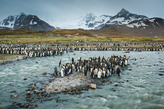 South Georgia Island, St. Andrews Bay. King penguins and glacial meltwater stream.